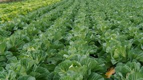 Green cabbage. Landscape view of a freshly growing cabbage field Royalty Free Stock Images