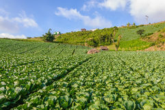 Landscape view of a freshly growing cabbage field. Stock Photo