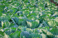 Landscape view of a freshly growing cabbage field. Stock Photos