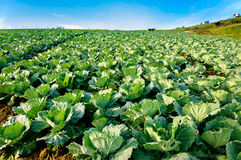 Landscape view of a freshly growing cabbage field. Stock Photography