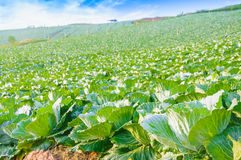 Landscape view of a freshly growing cabbage field. Royalty Free Stock Photo