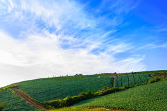 Landscape view of a freshly growing cabbage field. Royalty Free Stock Photos