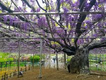 Landscape View of The Great Wisteria Blooming at Ashikaga Flower royalty free stock images
