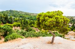 Landscape view on Greek pine tree with curved trunk growing on the rocky hill surrounded by southern green plants and flora. Landscape view on amazing Greek pine stock images