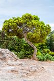 Landscape view on Greek pine tree with curved trunk growing on the rocky hill surrounded by southern green plants and flora. Landscape view on amazing Greek pine stock photo