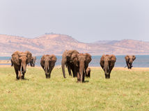 Landscape view of a herd of elephants with a mountain backdrop Royalty Free Stock Images