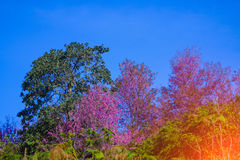 Landscape view of Himalayan Cherry Blossom , also call sakura pink color with blue sky background in winter at highlands Stock Photo