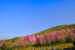 Landscape view of Himalayan Cherry Blossom , also call sakura pink color with blue sky background in winter Royalty Free Stock Photos