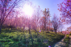 Landscape view of Himalayan Cherry Blossom , also call sakura pink color with blue sky background in winter Stock Image