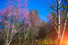 Landscape view of Himalayan Cherry Blossom , also call sakura pink color with blue sky background in winter Royalty Free Stock Images