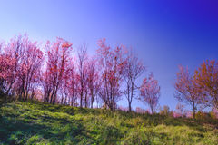 Landscape view of Himalayan Cherry Blossom , also call sakura pink color with blue sky background in winter Royalty Free Stock Image