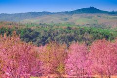Landscape view of Himalayan Cherry Blossom , also call sakura pink color with blue sky background in winter Stock Photography