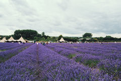 Landscape view of Hitchin lavender farm Royalty Free Stock Photos