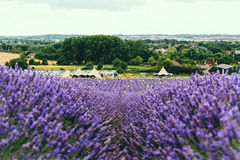 Landscape view of Hitchin lavender field Stock Photo