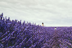 Landscape view of Hitchin lavender field and visitors Stock Images