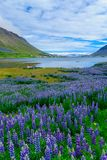 View of Isafjordur town. Landscape and view of Isafjordur town, in the west fjords region, Iceland Royalty Free Stock Images