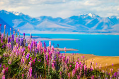 Landscape view of Lake Tekapo, flowers and mountains, New Zealand Royalty Free Stock Images