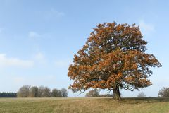 A landscape view of a large magnificent Oak Tree in the UK in autumn colors. stock photo
