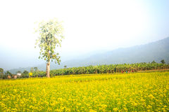 Landscape view with mustard field Royalty Free Stock Image