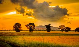 Landscape view of paddy field royalty free stock image
