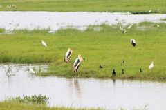 Painted stork birds standing calm next to the water royalty free stock image