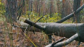 Landscape view of a Pine Forest, Fallen Logs of Dry Trees and Vegetation. Smooth motion of the camera along the ground stock video