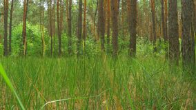 Landscape view of a Pine Forest, Green Grass and Tree Trunks. A landscape view of a pine forest, green grass and tree trunks. Smooth motion of the camera along stock video footage