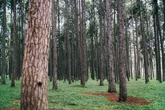 Landscape view of pine trees in nature park. stock image