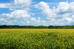 Landscape view of Rape flowers Royalty Free Stock Photos