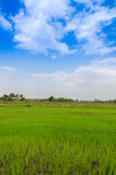 Landscape view of rice field blue sky and cloud Royalty Free Stock Images