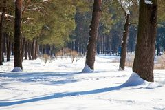 Winter landscape of pine trees with shadows on snow foreground. Landscape view of snowy tree trunks with shadows on snow and thin forest on the background stock image