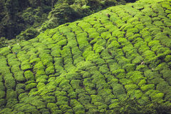 Landscape view of Tea Plantation in Cameron Highland Royalty Free Stock Photo