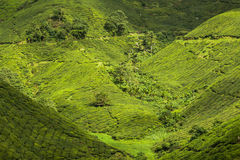 Landscape view of Tea Plantation in Cameron Highland Royalty Free Stock Photos