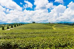 Landscape view of tea plantation at at choui fong farm,Chiang Rai, Thailand is Top tourist destinations. Landmark of Chiang Rai royalty free stock photos