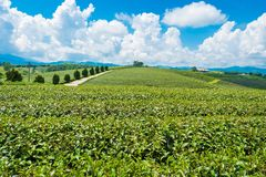 Landscape view of tea plantation at at choui fong farm,Chiang Rai, Thailand is Top tourist destinations. Landmark of Chiang Rai stock images