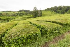 Tea plantation. Landscape view of a tea plantation near Sao Bras on Sao Miguel island in the Azores royalty free stock photography