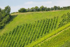 Landscape view of vineyard on hill. These wine grapes are growing in south Styrian in Leutschach, Austria. Landscape view of vineyard on hill. These wine grapes royalty free stock photos