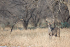 Landscape view of whitetail buck during the winter in Texas Stock Photos