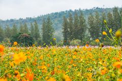 Landscape view of Yellow flower field with green pine tree and m. Ountain at background Royalty Free Stock Photos