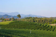 Landscape views of tea farm Royalty Free Stock Image
