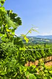 Landscape with vineyard Royalty Free Stock Photography