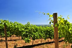 Landscape with vineyard Royalty Free Stock Photos