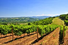 Landscape with vineyard Royalty Free Stock Image
