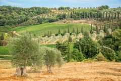 Landscape of vineyard and cypress trees near Montalcino, Tuscany, Italy. Landscape of vineyard and cypress trees near Montalcino, Tuscany Italy Royalty Free Stock Photo