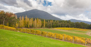Landscape of Vineyard fields in Yarra Valley, Australia in autumn. Landscape of Vineyard fields in Yarra Valley, Victoria, Australia in autumn royalty free stock image
