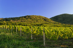 Landscape of vineyard and hills Royalty Free Stock Photo
