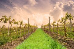 Landscape with vineyard in the hills Stock Photo