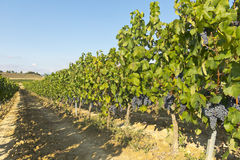 Landscape of vineyard Stock Image