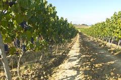 Landscape of vineyard royalty free stock photo