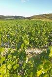 Landscape of vineyard royalty free stock images